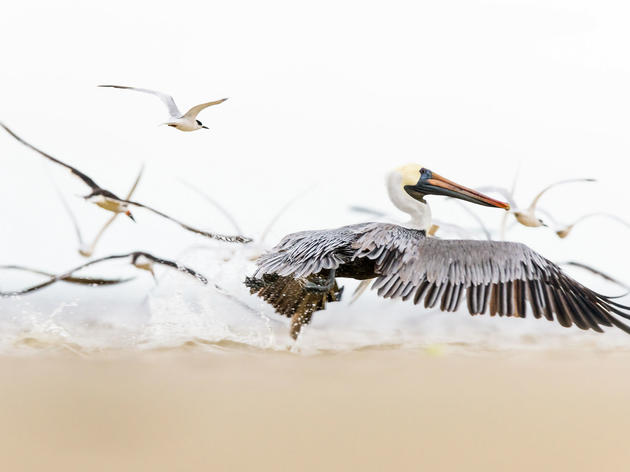 Finding Hope in the Story of the Brown Pelican