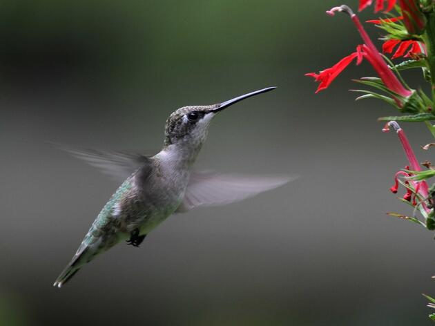 Hummingbird Migration & Nature Celebration