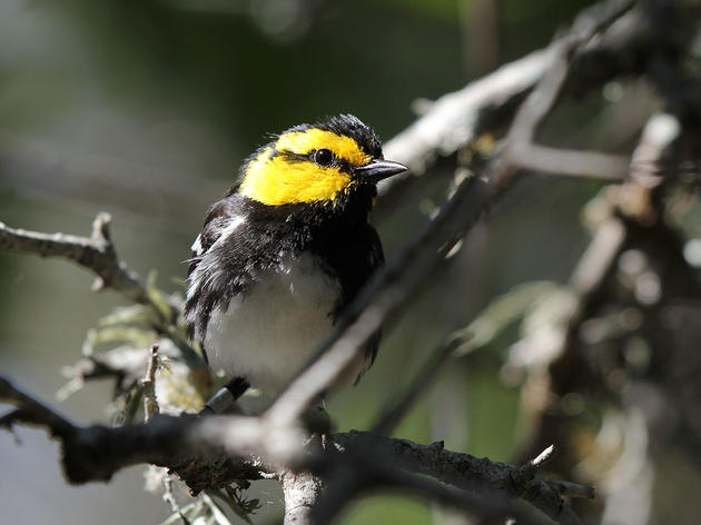 Yet Again, Texas Developers Try to Delist the Endangered Golden-cheeked Warbler