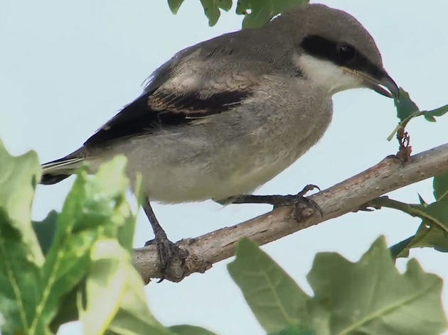 Watch: New Shrike Film Shows Previously Undocumented 'Butcher Bird' Behaviors